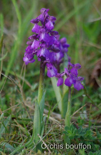 Orchidées4.JPG