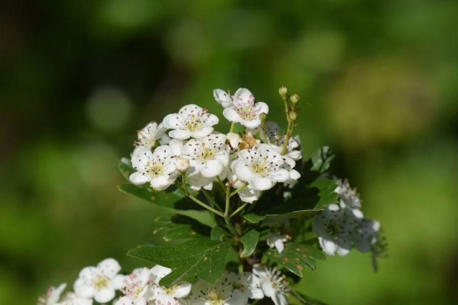 fleurs-daubeepine.JPG