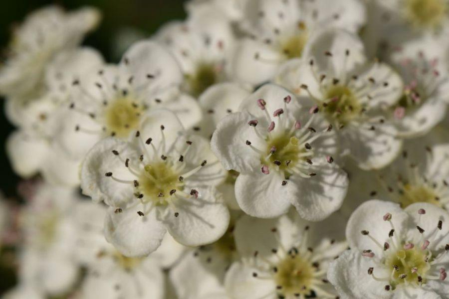 fleurs-daubeepine-macro.JPG
