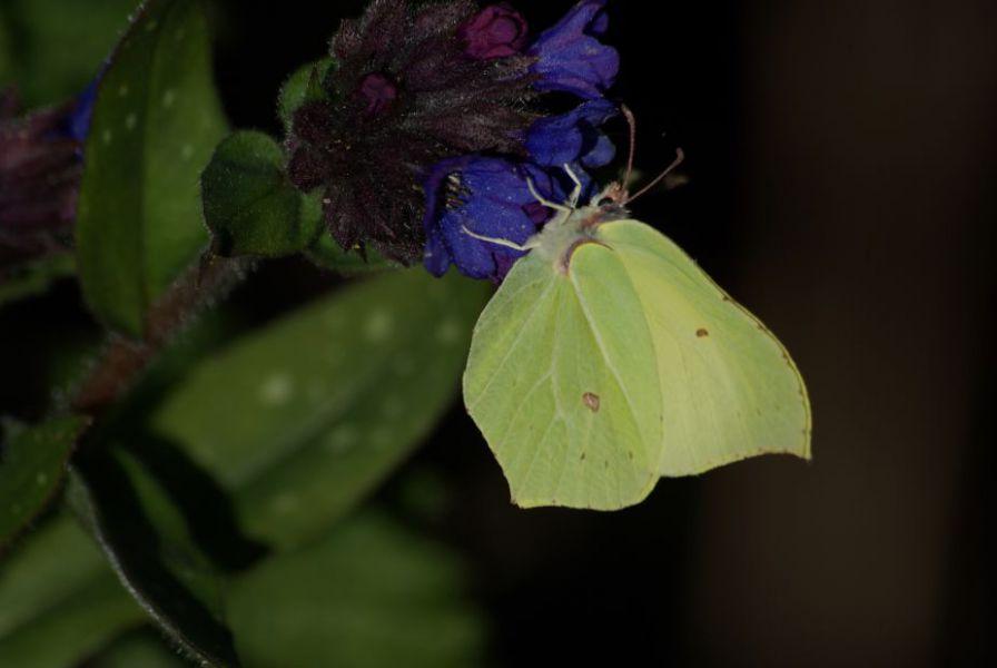 Papillon citron1.JPG