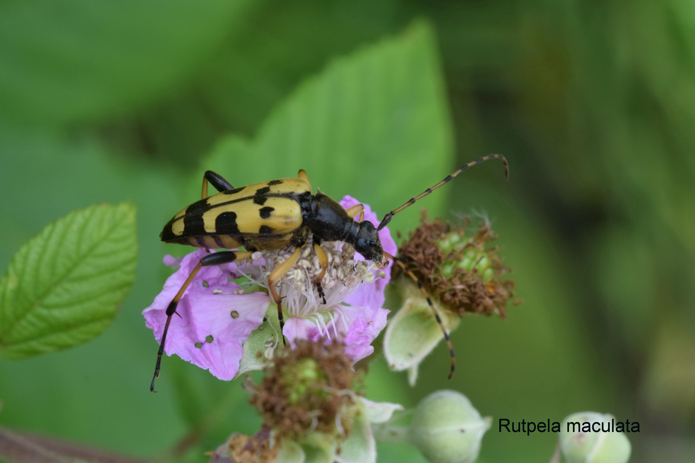 Rutpela maculata - Les Longicornes 08-2019.JPG