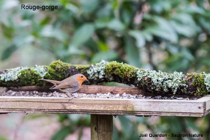 oiseaux de la mangeoire -rouge gorge ©Joël QUARDON.jpg