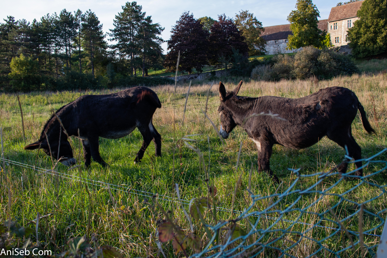 2 ânes dans une propriété chemin Braquin.jpg