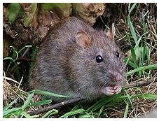 rats souris.JPG