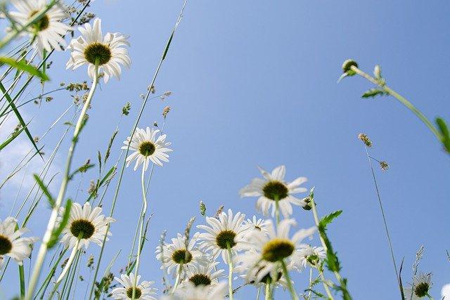 daisies-5343423_640.jpg