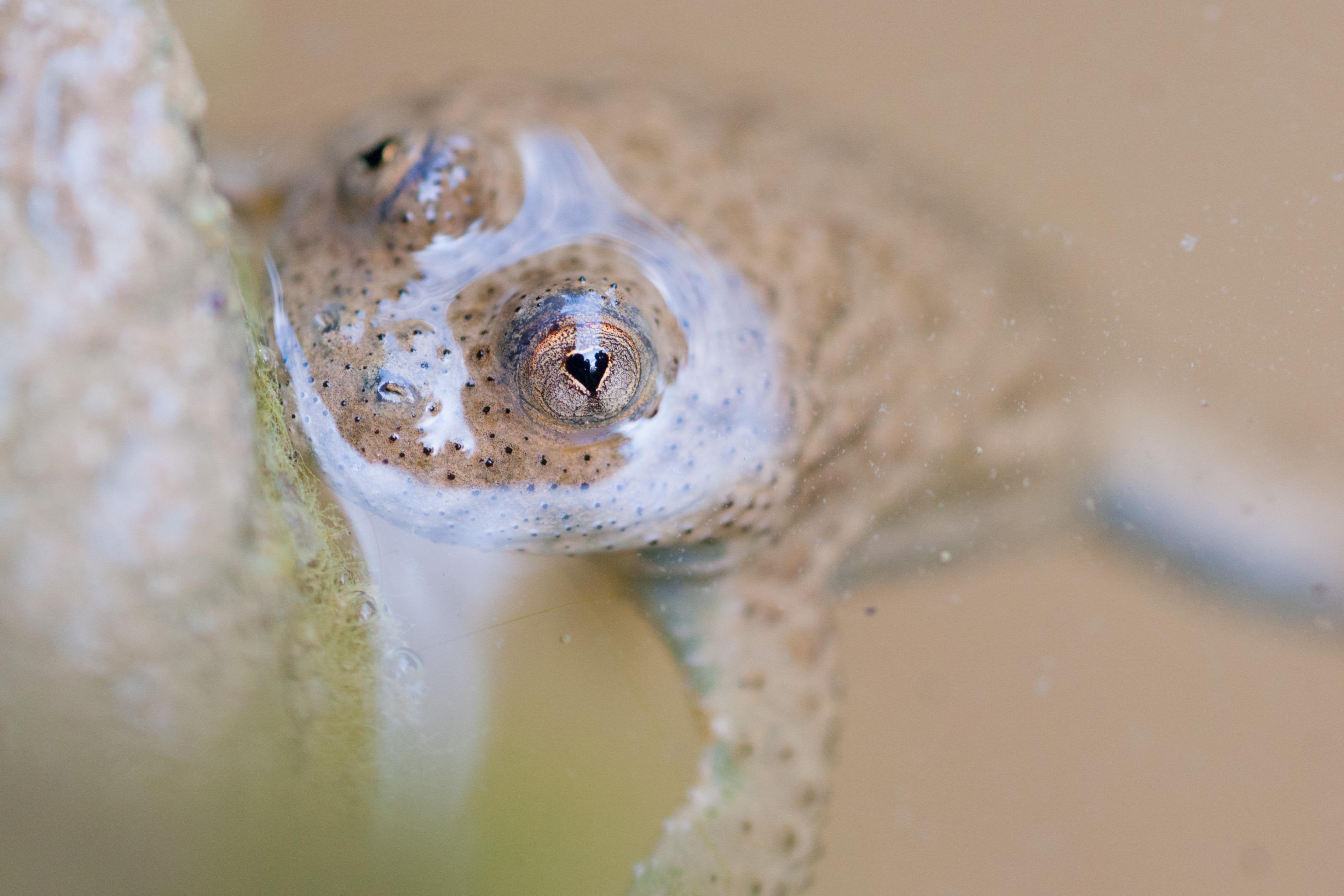 grenouille shr.jpg