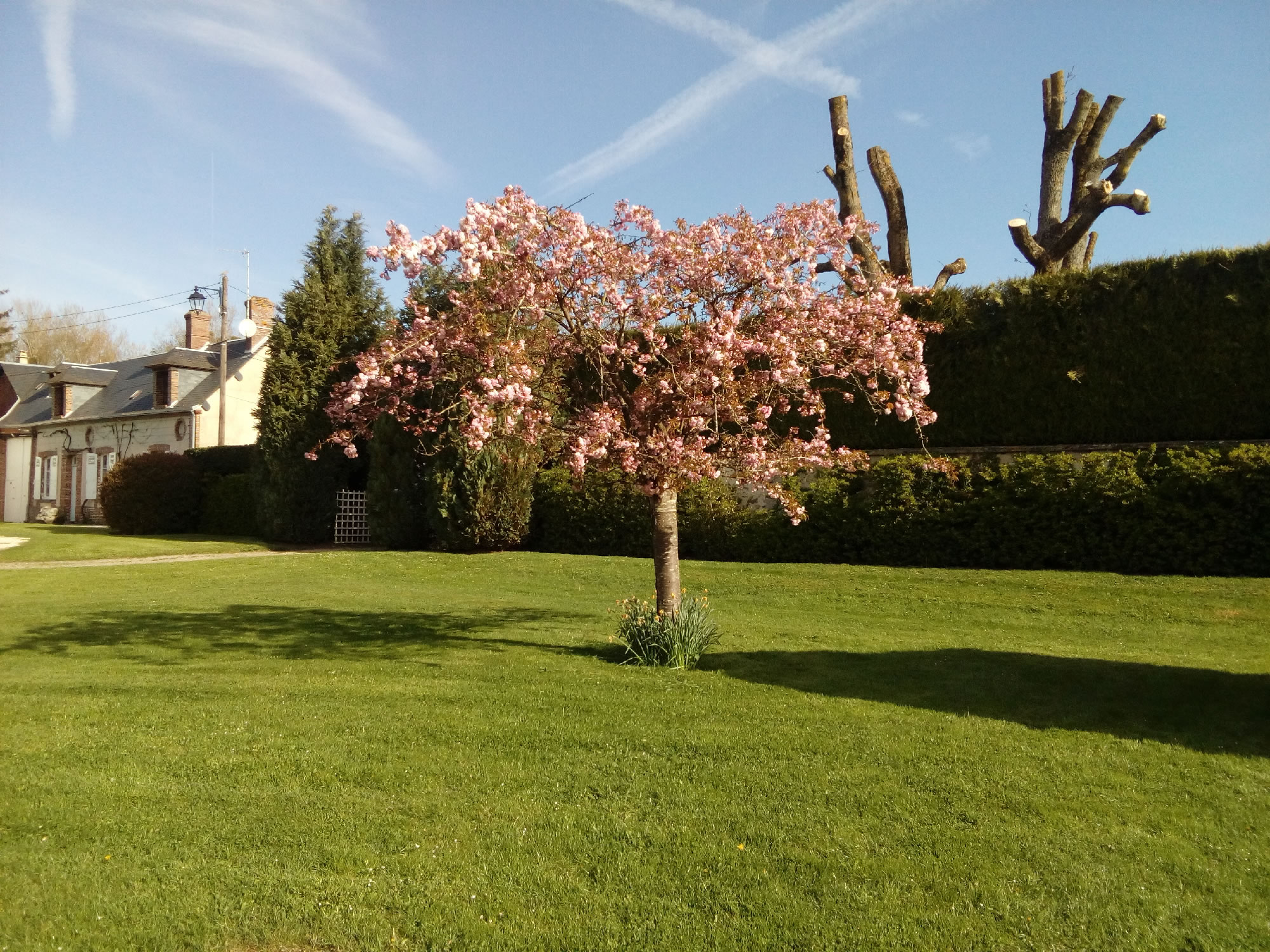 cerisier fleur2.jpg