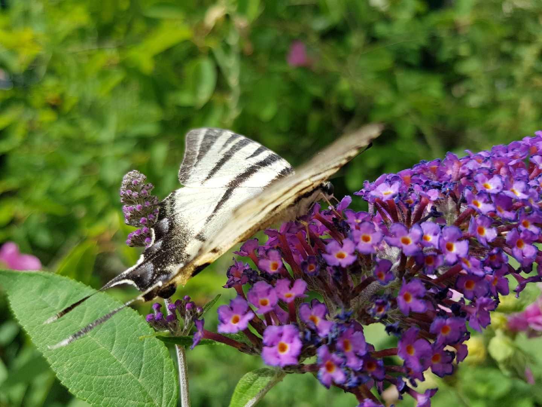 papillon _002_.jpg