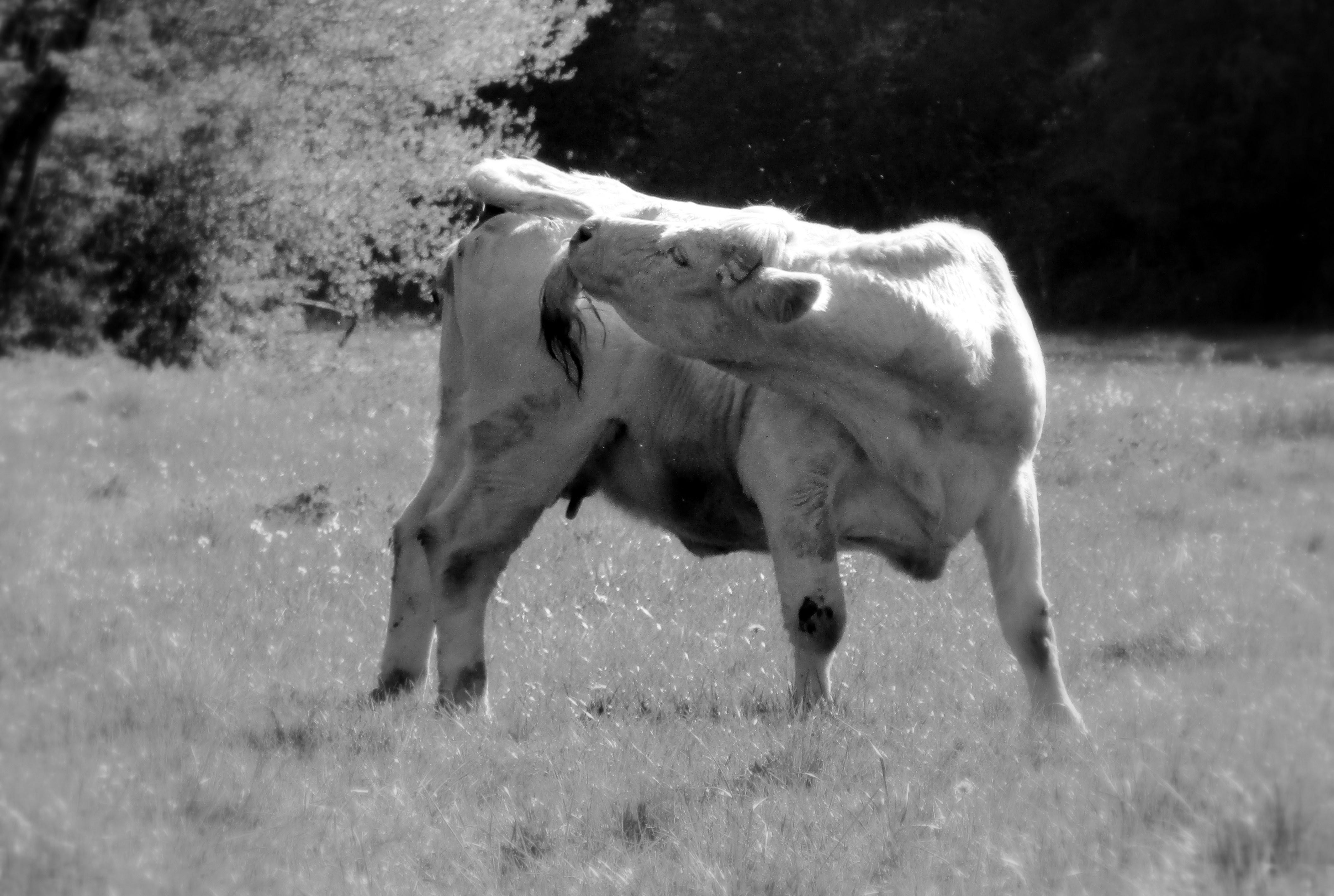1- oh ! la vache _003_.JPG