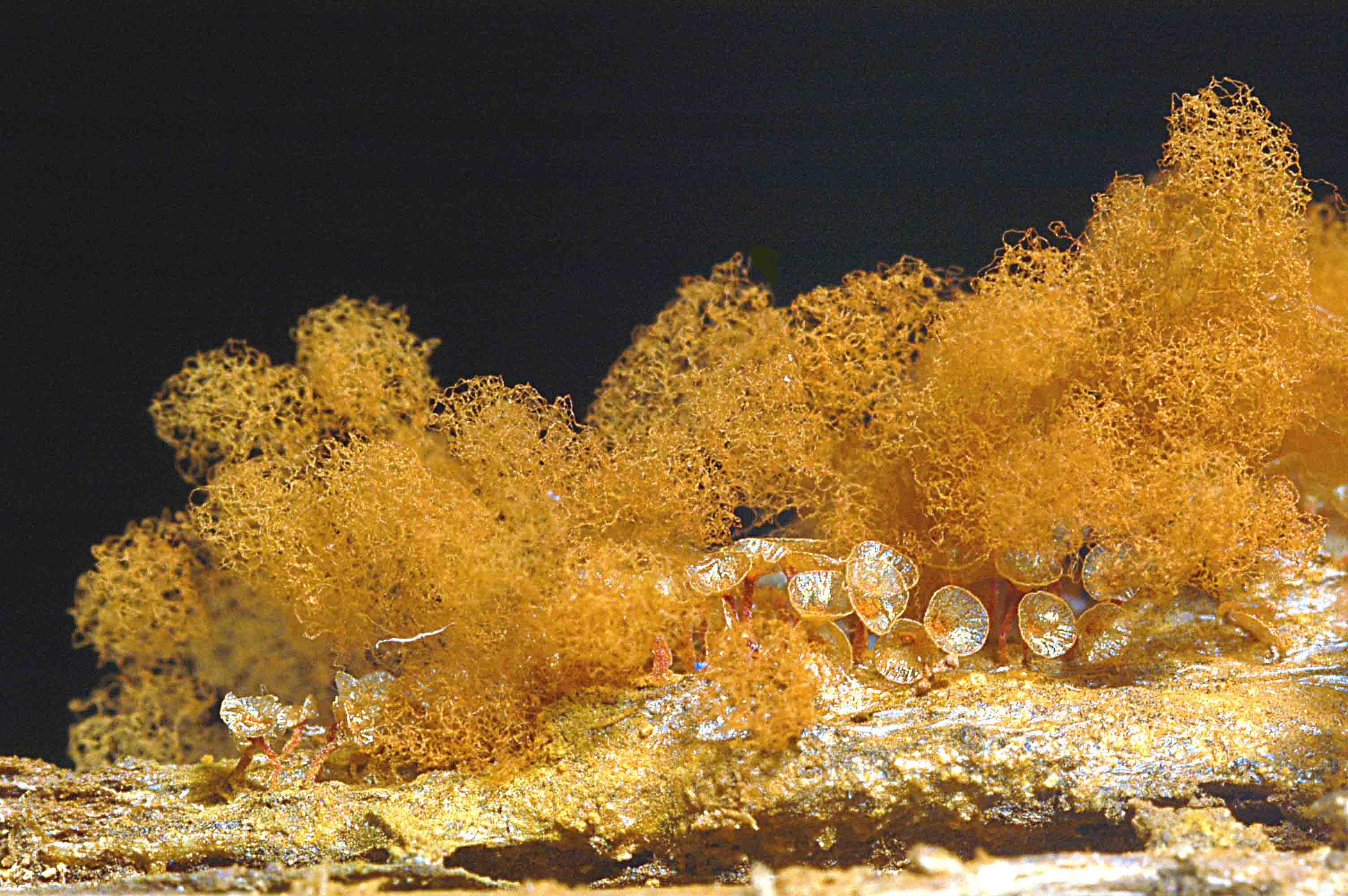 Arcyria ferruginea 525 c.jpg