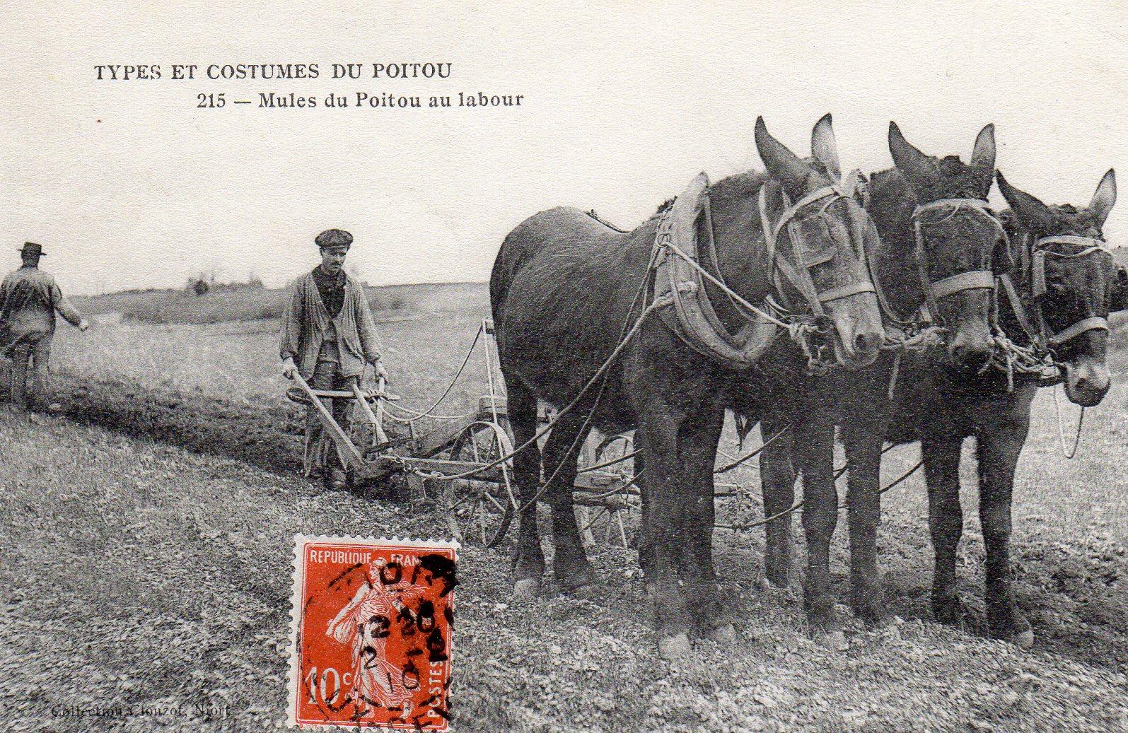 Mules du Poitou au labour.jpg