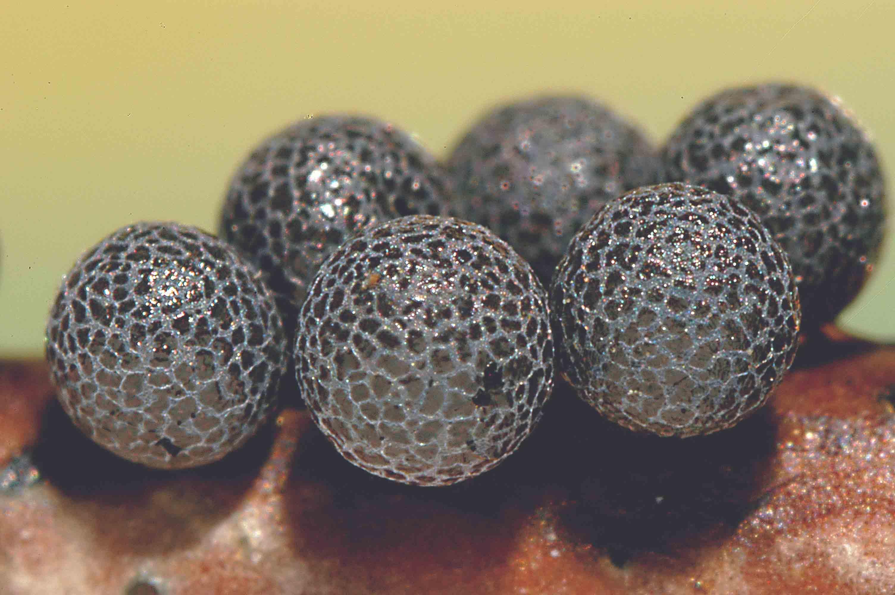 Lamproderma acanthosporum 791_1bis a f.jpg