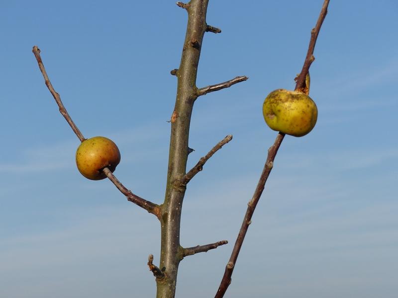Des pommes.JPG