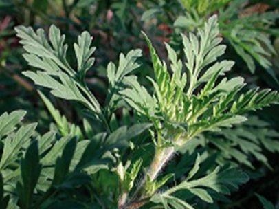 Lutte contre l'ambroisie: une plante nuisible à la santé humaine