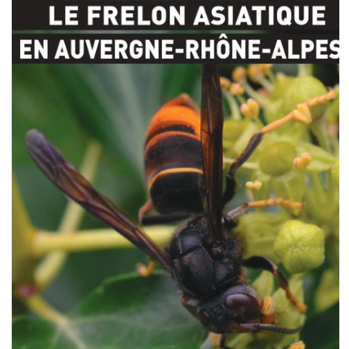 Frelon asiatique.jpg