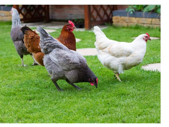 poule_grippe_aviaire.jpg