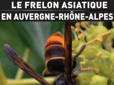 Frelon asiatique 2020.JPG