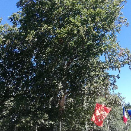 photo arbre Saint-Jammes_1_.jpg
